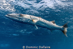Great Barracuda of 5 feet ! by Dominic Dallaire